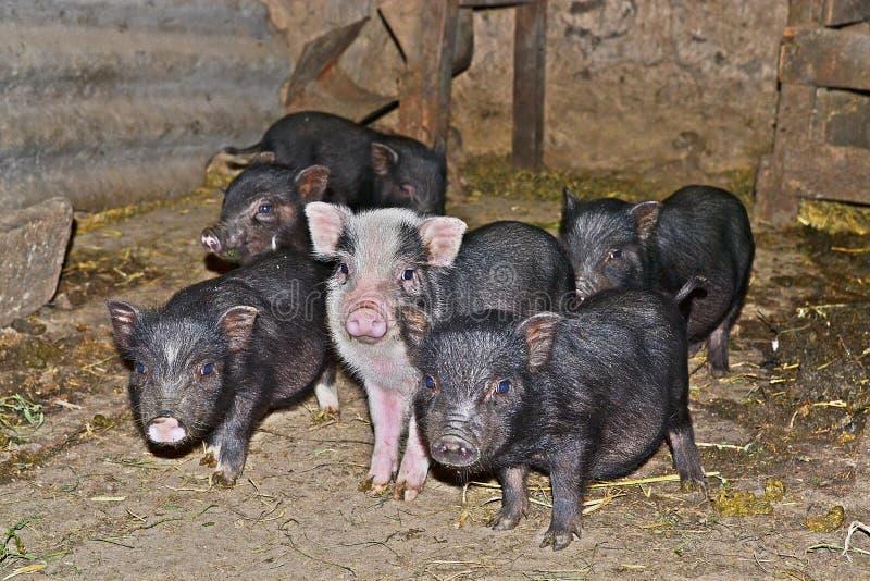 Wietnamskie małe świnie obraz stock