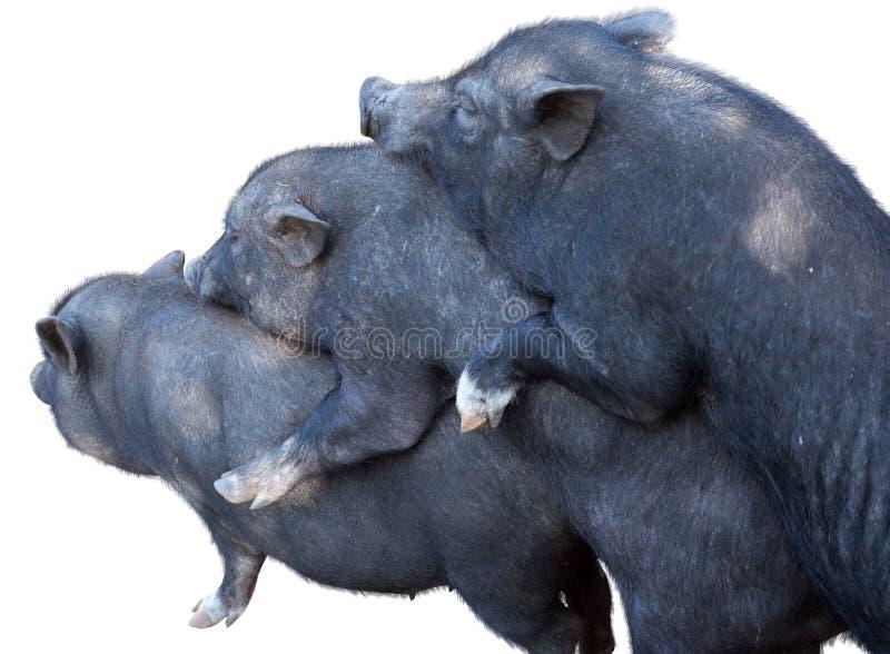 Wietnamskie Potbelly świnie zdjęcia stock
