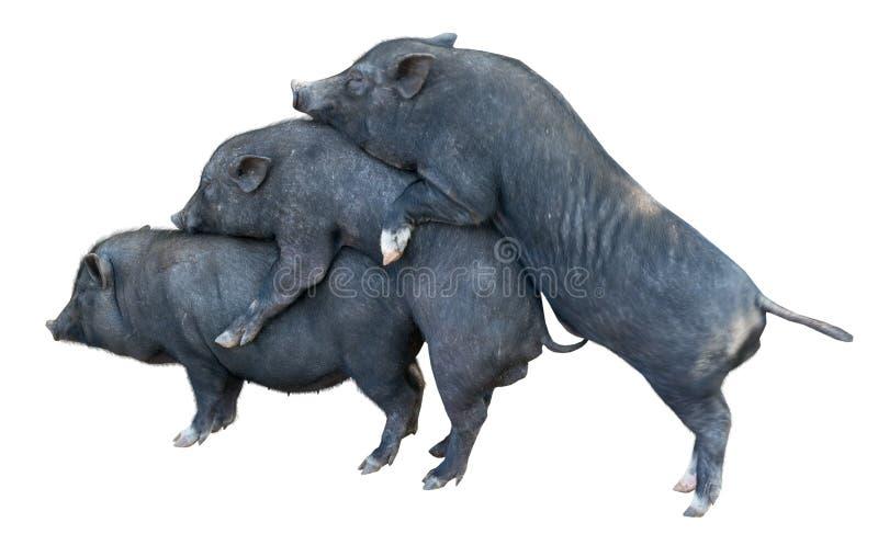 Wietnamskie Potbelly świnie fotografia royalty free