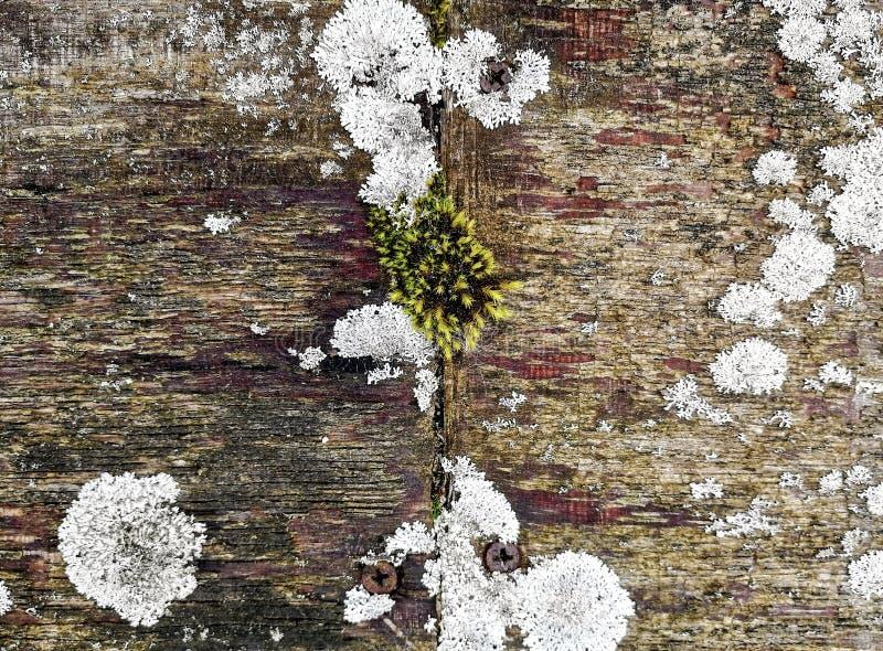 Wietrzejąca drewno powierzchnia z kolorową roślinnością liszaje i mech obraz stock