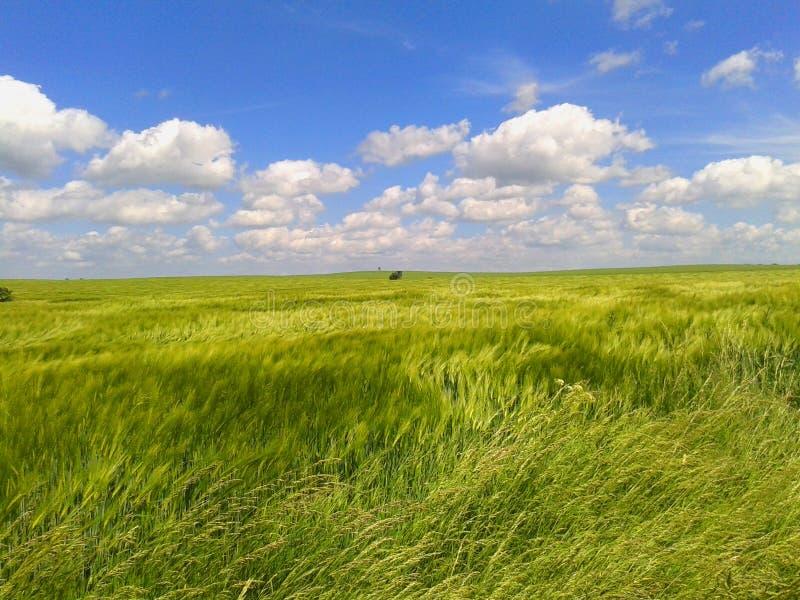 Wietrzny zielony zboże krajobraz w chmurnym dniu obraz royalty free
