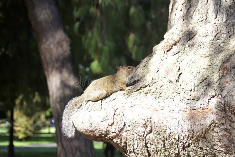 Wiewiórczy drzewny bagażnik fotografia stock