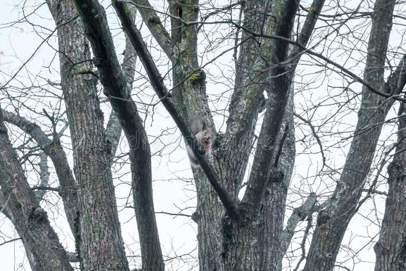 Wiewiórczy obsiadanie na drzewie z acorn w usta w jesień lesie przeciw niebu, jesień w Finlandia zdjęcie stock