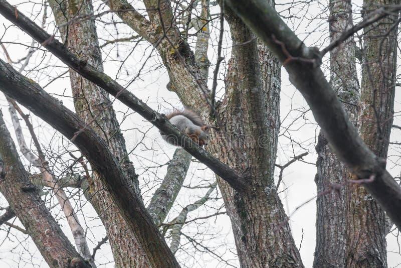 Wiewiórczy obsiadanie na drzewie z acorn w usta w jesień lesie przeciw niebu, jesień w Finlandia obrazy royalty free