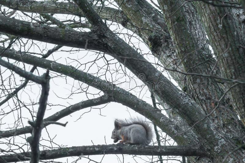 Wiewiórczy obsiadanie na drzewie z acorn w usta w jesień lesie przeciw niebu, jesień w Finlandia obraz stock
