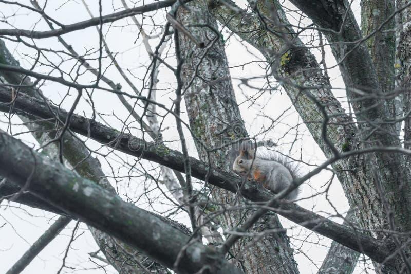 Wiewiórczy obsiadanie na drzewie z acorn w usta w jesień lesie przeciw niebu, jesień w Finlandia zdjęcie royalty free