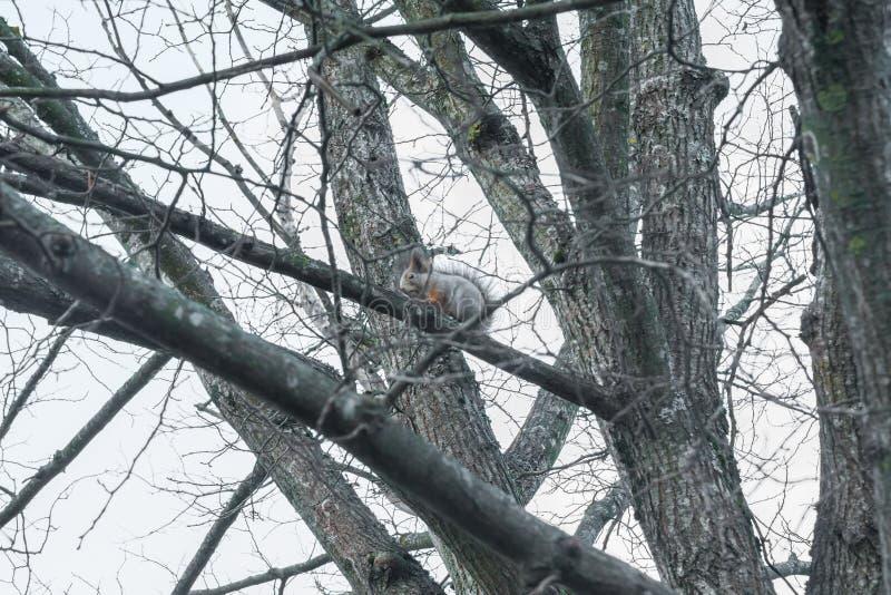 Wiewiórczy obsiadanie na drzewie z acorn w usta w jesień lesie przeciw niebu, jesień w Finlandia fotografia stock