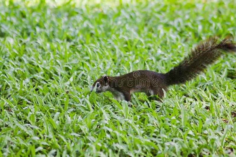 Wiewiórka chodzi na gazonie fotografia royalty free