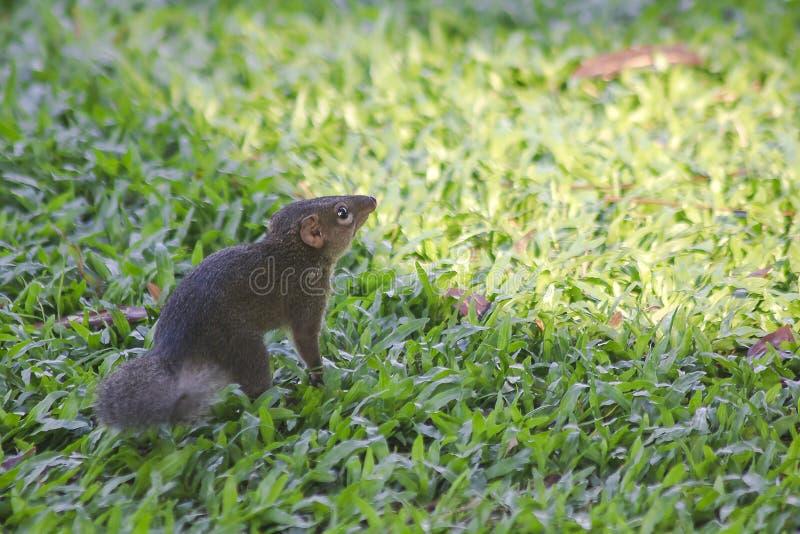 Wiewiórka chodzi na gazonie fotografia stock
