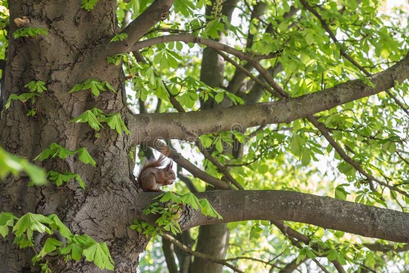 Wiewiórcza łasowanie dokrętka w zielonym lesie obraz royalty free
