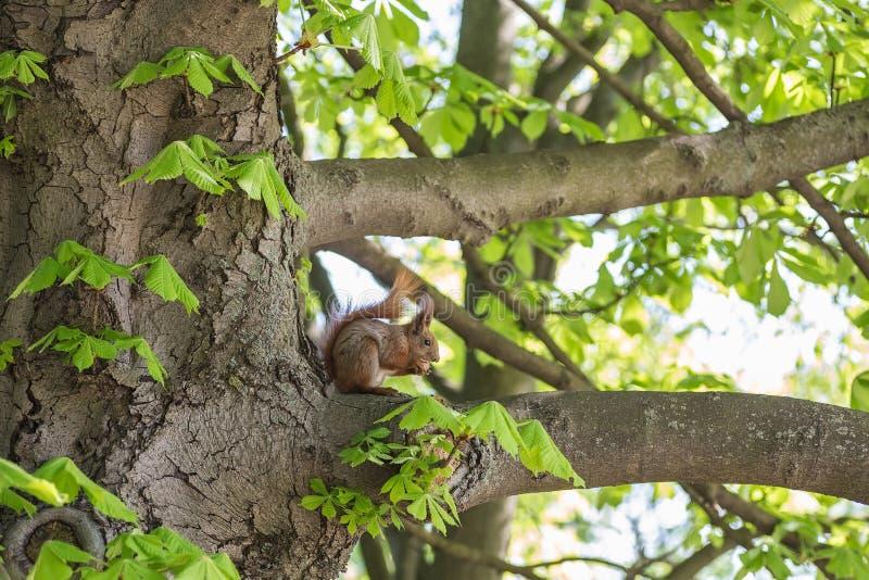 Wiewiórcza łasowanie dokrętka w zielonym lesie obraz stock