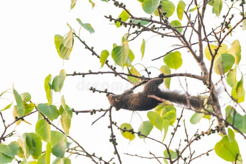 Wiewiórcza karma na Świętej figi owoc w parku fotografia stock