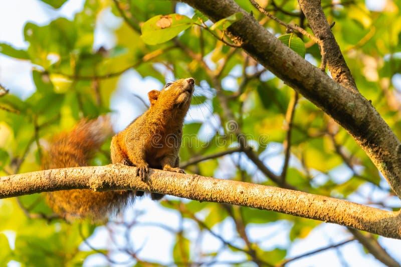 Wiewiórcza karma na Świętej figi owoc w parku obrazy stock