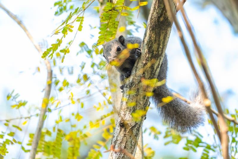 Wiewiórcza karma na Świętej figi owoc w parku obrazy royalty free