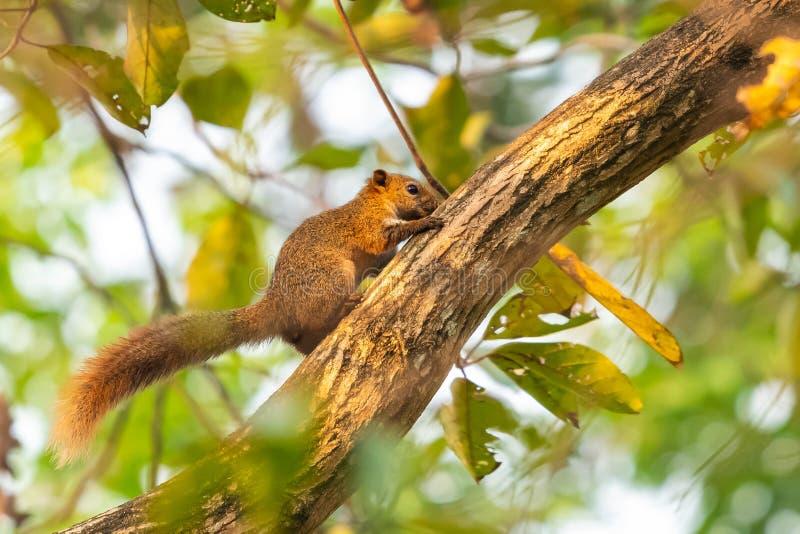 Wiewiórcza karma na Świętej figi owoc w parku obraz stock