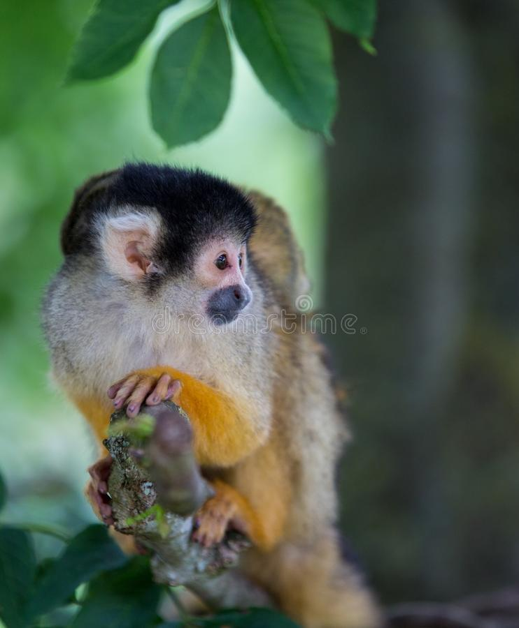 Wiewiórcza małpa zdjęcie royalty free