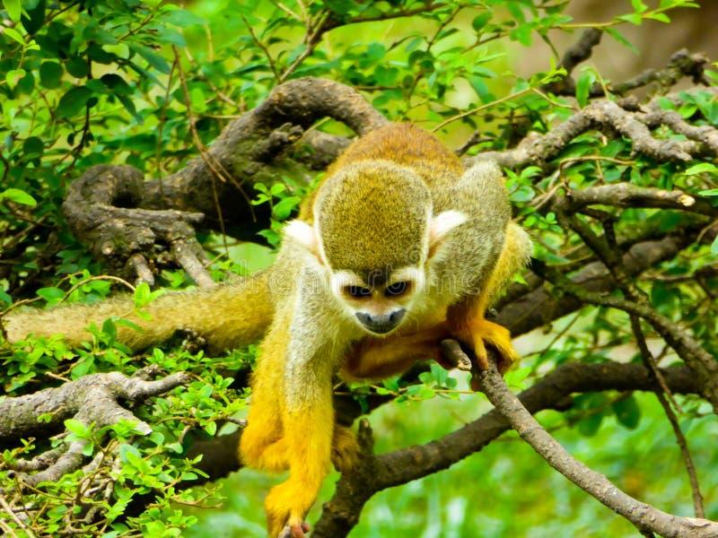 Wiewiórcze małpy wspina się drzewa obrazy royalty free