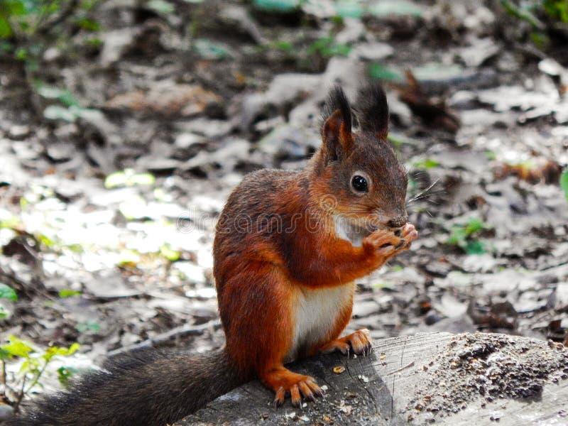 Wiewiórczy łasowanie w lesie zdjęcie stock