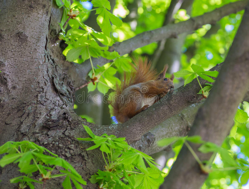 Wiewiórczy kolor nadgryza dokrętki w drzewie zdjęcie royalty free