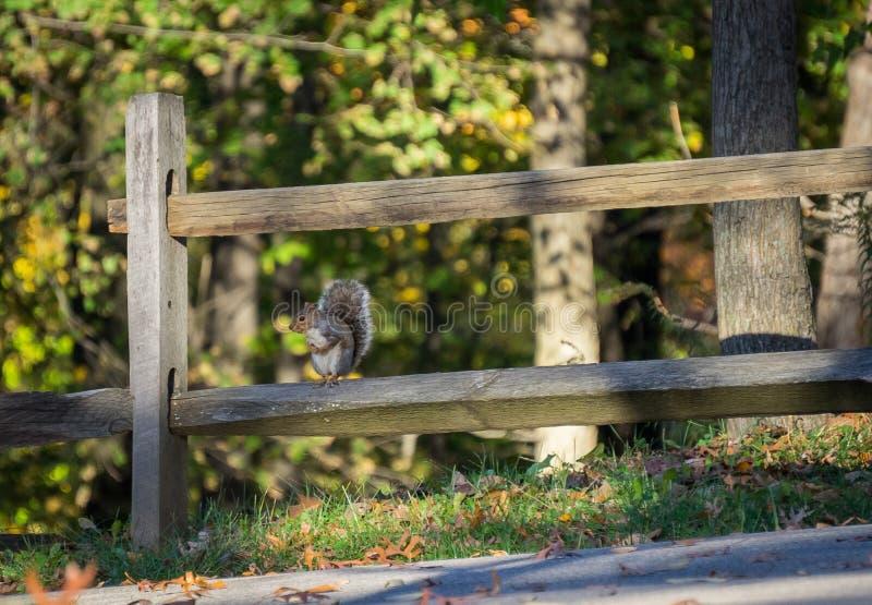 Wiewiórczy obsiadanie na drewnianym ogrodzeniu obraz royalty free