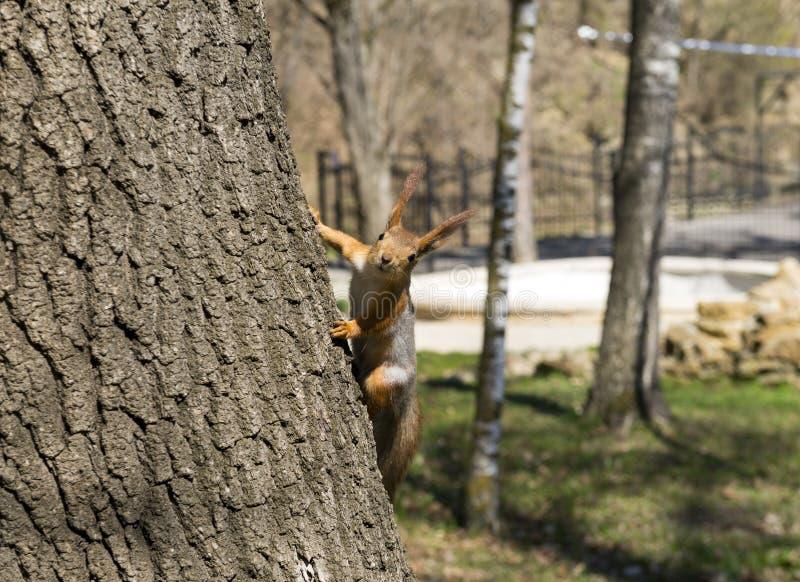 Wiewiórczy obsiadanie na drzewnym bagażniku zdjęcie royalty free