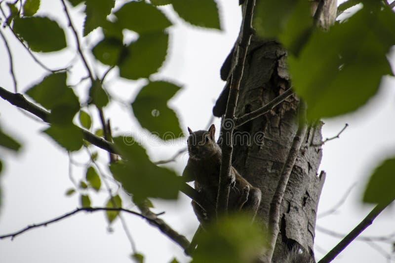 Wiewiórczy obsiadanie na gałąź obraz stock