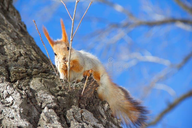 Wiewiórczy obsiadanie w drzewa i łasowania dokrętkach obraz royalty free