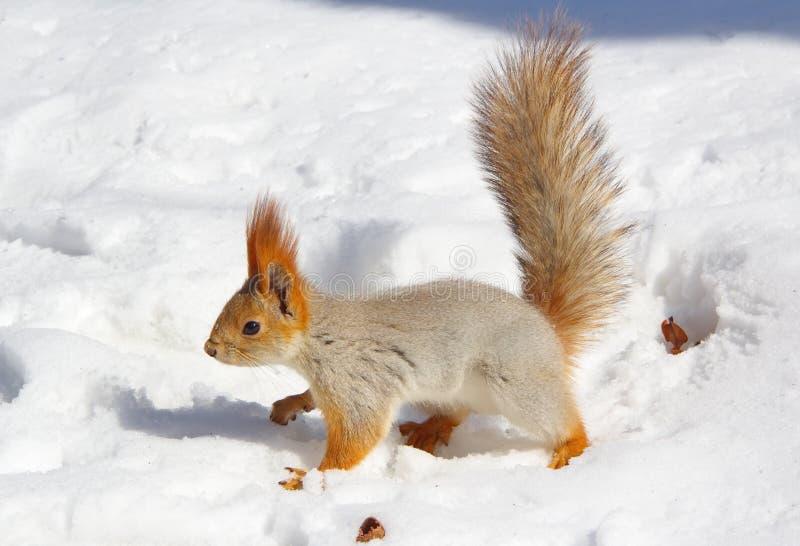 Wiewiórczy patrzeć dla niektóre jedzenia w zima dniu fotografia stock