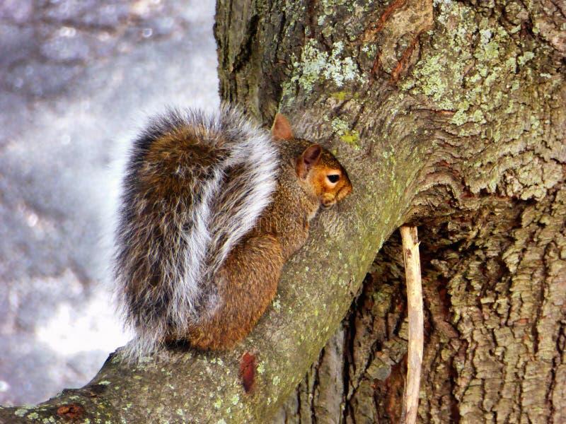 Wiewiórczy pięcie na drzewie zdjęcie royalty free