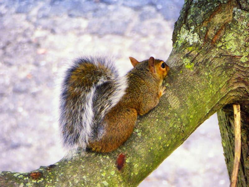 Wiewiórczy pięcie na drzewie obraz stock