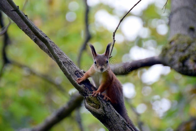 Wiewiórczy pozować zdjęcie stock