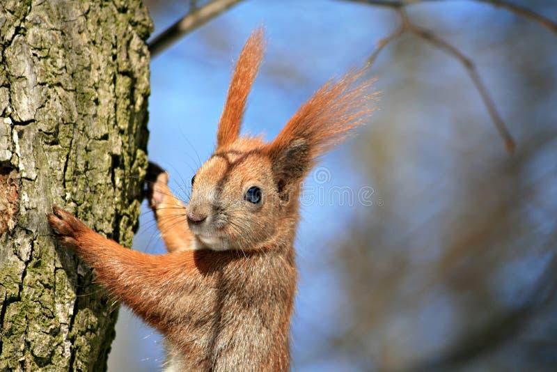 Download Wiewiórka obraz stock. Obraz złożonej z dziwaczny, ssak - 13327365