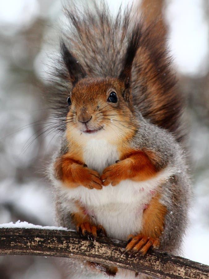 Wiewiórka obraz royalty free