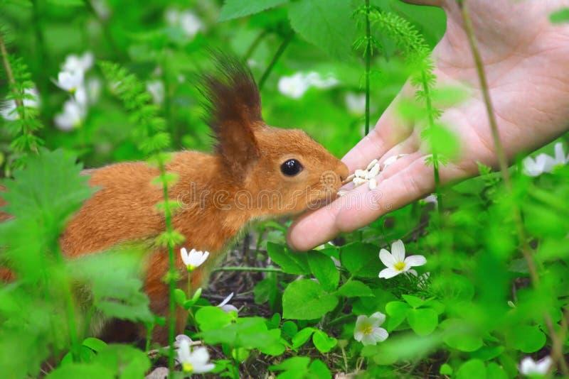 Wiewiórka cipki