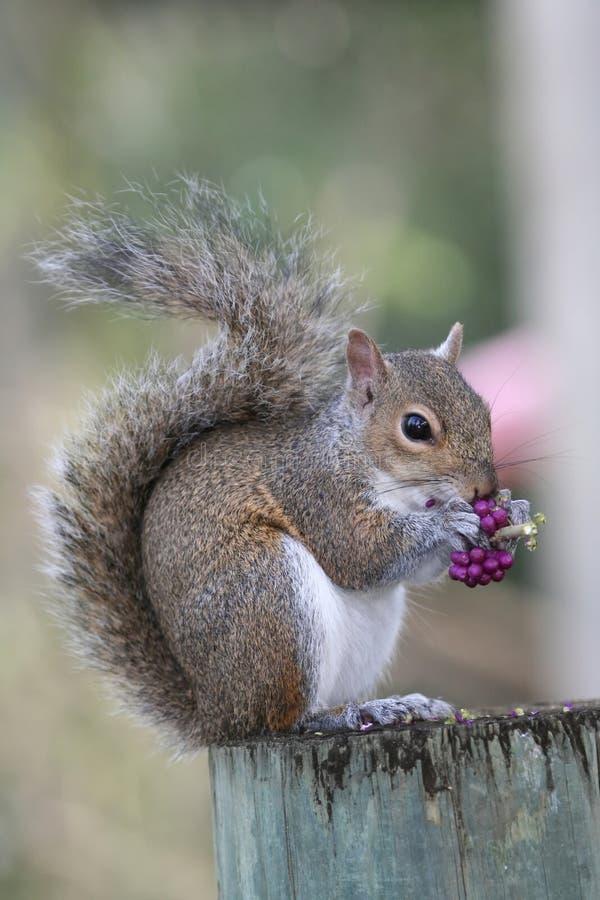 wiewiórka zdjęcie stock