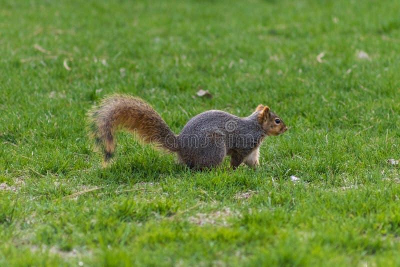 Wiewiórka bawić się w trawie zdjęcia royalty free