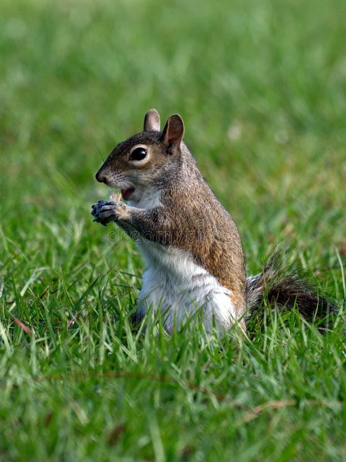 Wiewiórka Bierze kąsek zdjęcie royalty free