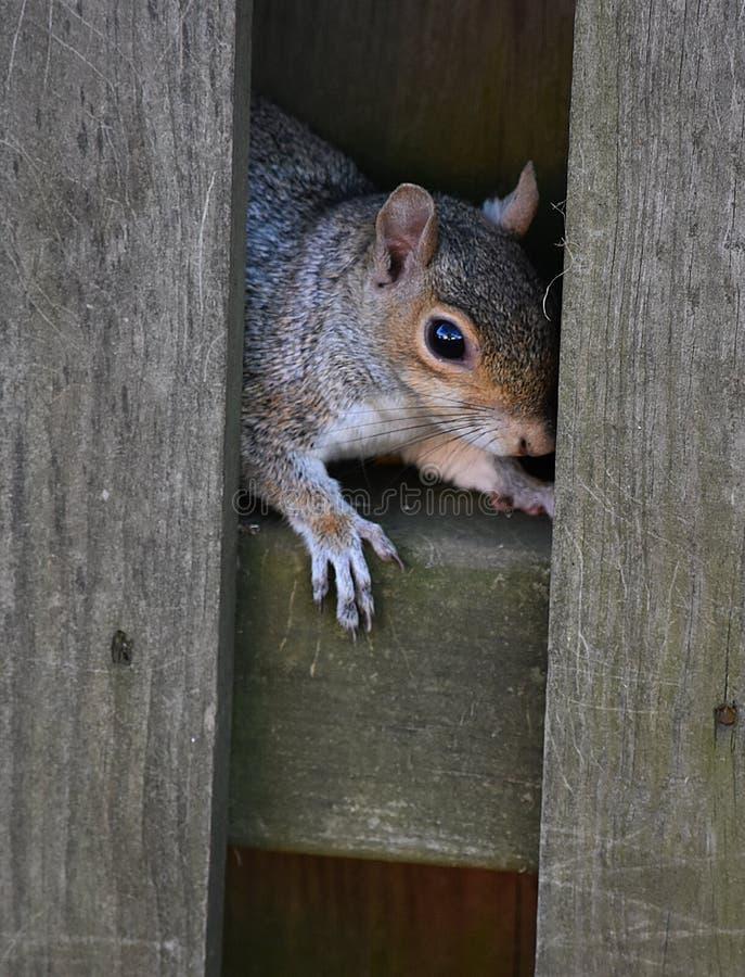 Wiewiórka Chuje w ogrodzeniu zdjęcie royalty free