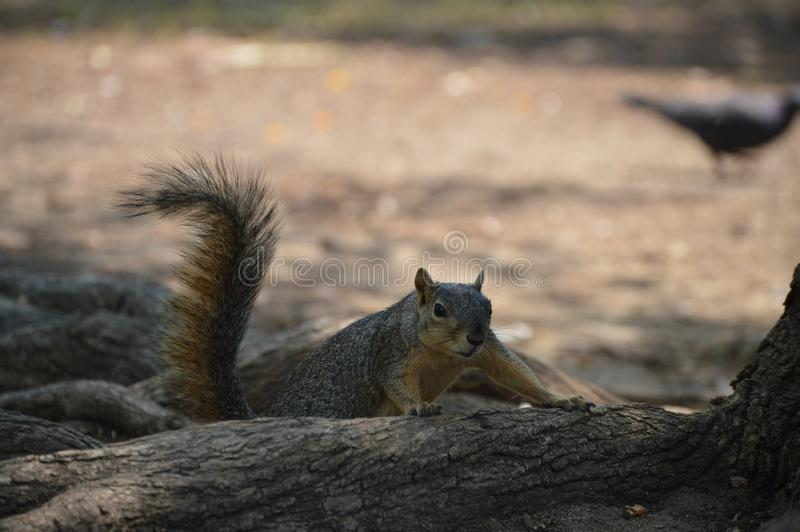 Wiewiórka, futerko, wełna, pięcie, drzewo, jezioro, woda, MacArthur park, Los Angeles, obraz royalty free