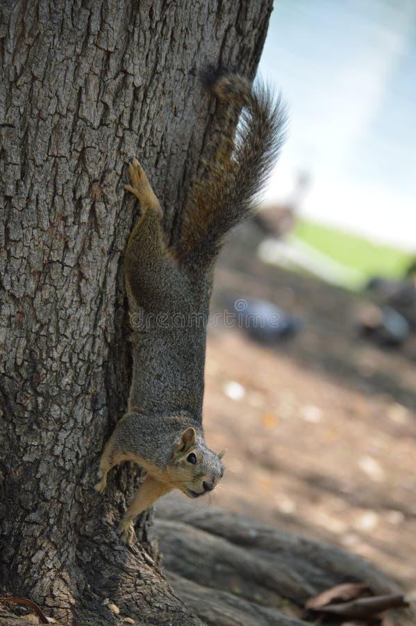 Wiewiórka, futerko, wełna, pięcie, drzewo, jezioro, woda, MacArthur park, Los Angeles, zdjęcia stock