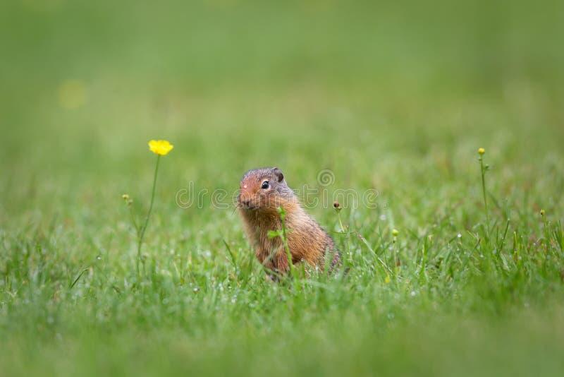 Wiewiórka i przerzedże wody kroplę obrazy stock
