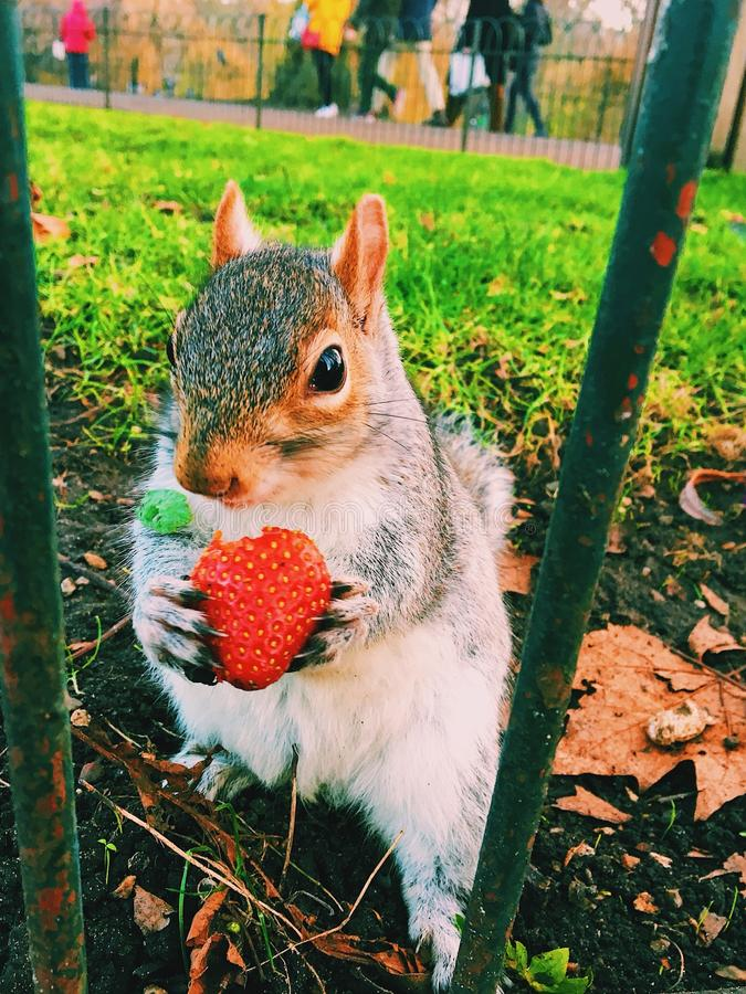 Wiewiórka i truskawka zdjęcia stock