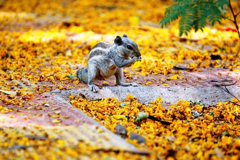 Wiewiórka je kwiatu obrazy stock