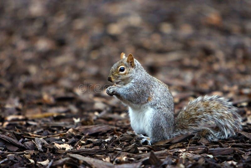 wiewiórka jedzenia zdjęcia stock