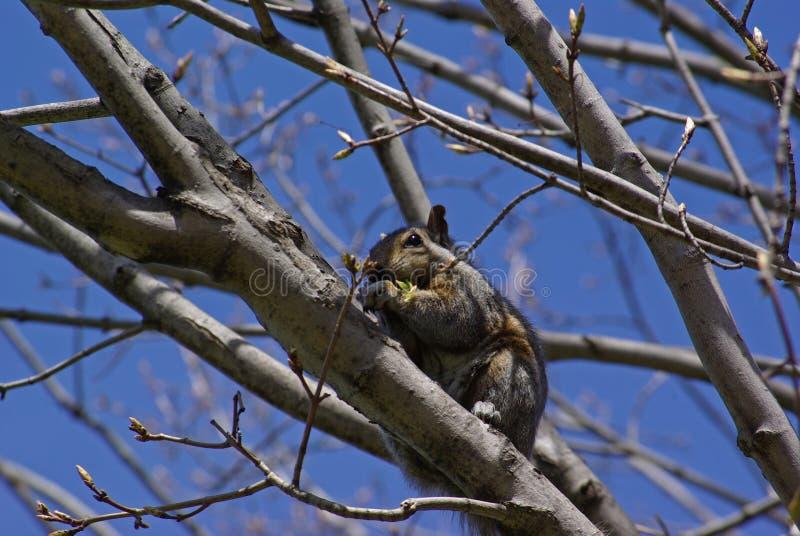 wiewiórka jedzenia obraz stock
