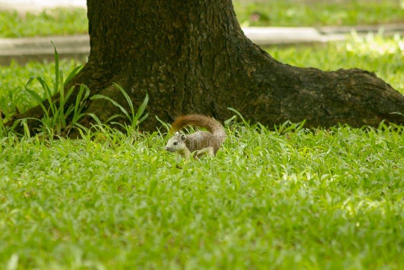 Wiewiórka jest na gazonie w parku obrazy stock