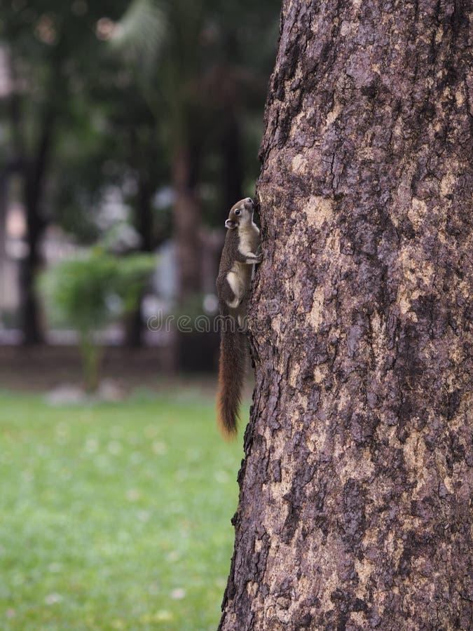 Wiewiórka kije na drzewie fotografia stock