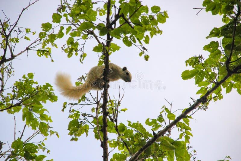 Wiewiórka kije na gałąź fotografia stock