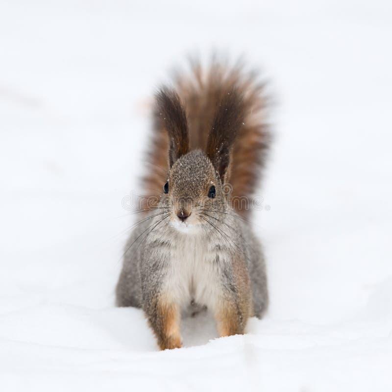 Wiewiórka na śniegu zdjęcie royalty free