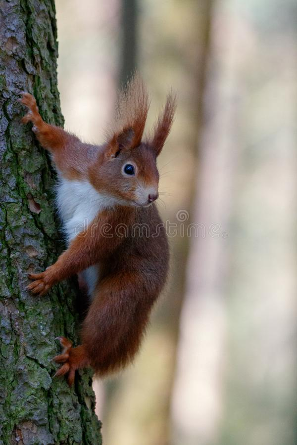 Wiewiórka na bagażniku fotografia royalty free